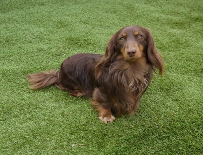 Cocoa Wins second place after two year from the Dog walk..