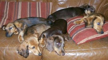 Miniature Long Haired Dachshund Mum and Pup sleeping..