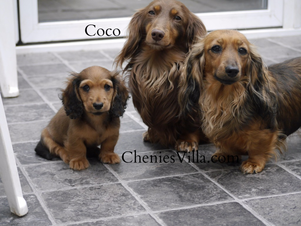 cheniesvilla a breeder of pedigree long haired miniature dachshund