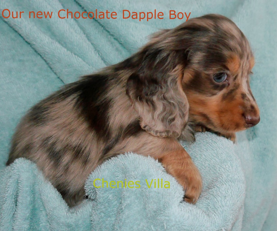 Black n Tan Chocolate Miniature Dachshund Puppies for Sale available now