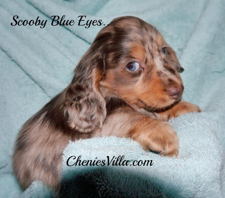 CheniesVilla a Breeder of Pedigree Long Haired Miniature