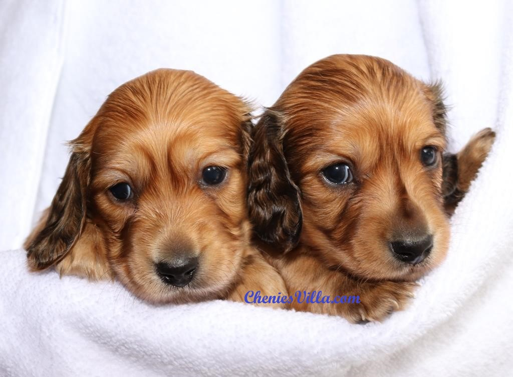 Cheniesvilla A Breeder Of Pedigree Long Haired Miniature Dachshund Puppies For Sale