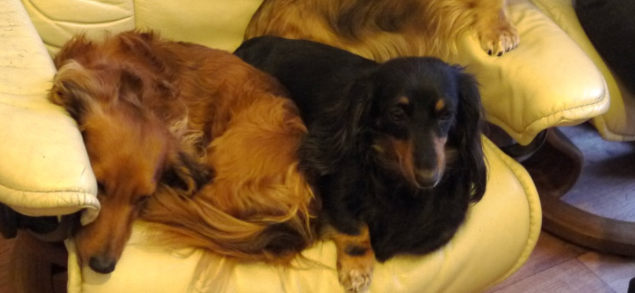 MPuppies For Saleiniature Dachsund